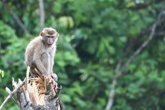 Macaco selvagem fotografia de stock