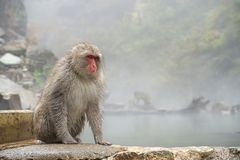 Macaco selvagem da cara vermelha no parque do macaco de Jigokudani em Yamanouchi, Na fotografia de stock royalty free