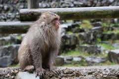 Macaco selvagem da cara vermelha no parque do macaco de Jigokudani em Yamanouchi, Na fotografia de stock