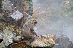 Macaco selvagem da cara vermelha no parque do macaco de Jigokudani em Yamanouchi, Na foto de stock royalty free