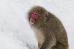 Macaco selvagem da neve que olha acima na neve fotografia de stock