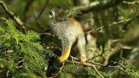 Macaco selvagem das Amazonas video estoque