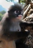 Macaco selvagem do primata do Langur entre as rochas em sua conserva animal do santuário aberto em Tailândia, Ásia Foto de Stock