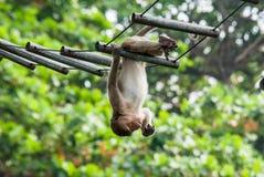 Macaco selvagem em Lopburi Imagens de Stock