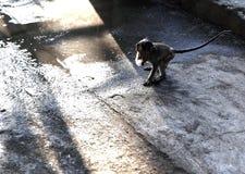 Macaco selvagem em Sunbawa Fotografia de Stock