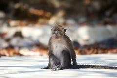 Macaco selvagem pequeno que senta-se na praia da areia imagem de stock royalty free