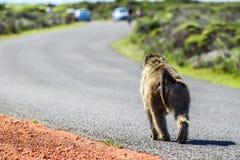 Macaco na estrada imagem de stock