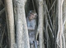 Macaco selvagem que esconde em uma árvore Fotografia de Stock
