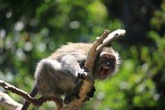 Macaco selvagem que grita imagens de stock royalty free