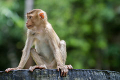 Macaco selvagem que senta-se na cadeira concreta na floresta do parque nacional Fotos de Stock Royalty Free