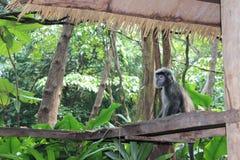 Macaco sob o telhado Fotos de Stock