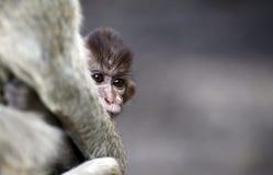 Macaco Tailândia Fotografia de Stock Royalty Free