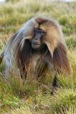 Macaco - theropithecus Imagem de Stock Royalty Free