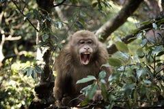 Macaco tibetano de riso do Macaca Foto de Stock Royalty Free