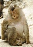 Macaco triste Fotografia de Stock