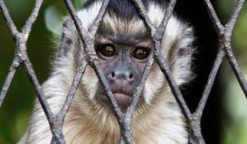 Macaco triste na gaiola fotografia de stock
