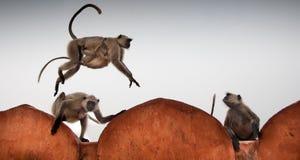 Macaco urbano Fotos de Stock