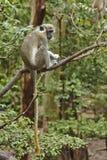 Macaco verde de Barbados Fotos de Stock