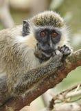 Macaco verde de Barbados Fotografia de Stock Royalty Free