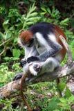 Macaco vermelho - mãe e filho Foto de Stock