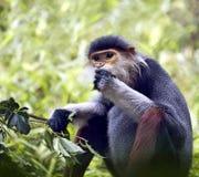 Macaco vietnamiano Imagem de Stock Royalty Free
