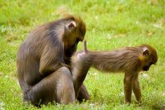 Macacos fotos de stock royalty free