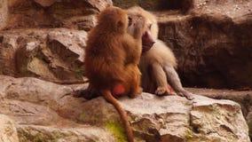 Macacos vídeos de arquivo