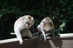 macacos Imagem de Stock