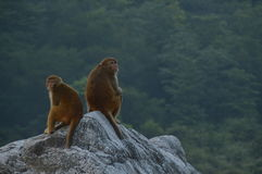 macacos Fotografia de Stock Royalty Free