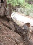 macacos Fotografia de Stock