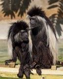 Macacos angolanos de comunicação de Colubus no jardim zoológico Tampa no parque de Lowry fotos de stock