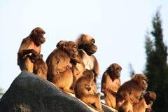 Macacos, babuínos muito FUNDO do animal das famílias foto de stock