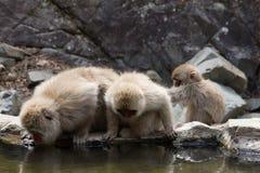 Macacos bebendo da neve Fotos de Stock