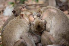 Macacos bonitos Imagens de Stock