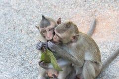 Macacos bonitos Fotografia de Stock Royalty Free