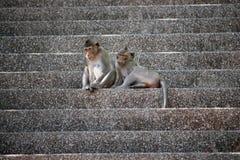Macacos bonitos Imagens de Stock Royalty Free