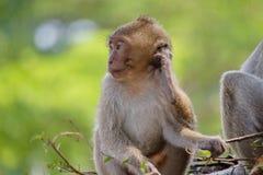 Macacos bonitos Fotografia de Stock