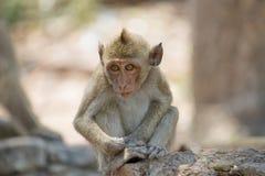 Macacos bonitos Foto de Stock Royalty Free