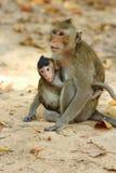 Macacos bonitos Fotos de Stock