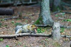 Macacos bonitos do macaco na floresta Fotos de Stock