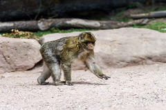 Macacos bonitos do macaco na floresta Imagem de Stock