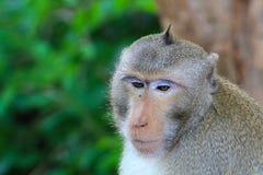 Macacos bonitos, macaco engraçado Fotografia de Stock