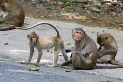 Macacos bonitos, macaco engraçado Fotos de Stock Royalty Free