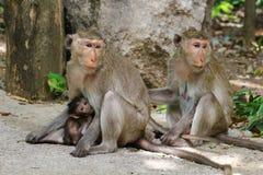 Macacos bonitos, macaco engraçado Imagens de Stock