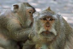 Macacos bonitos no templo de Uluwatu no sul da ilha de Bali Imagem de Stock