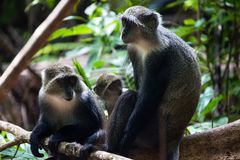 Macacos cinzentos em Jozani Forest National Park, Zanzibar imagem de stock royalty free
