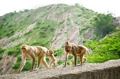 Macacos com filhotes Templo de Galta na Índia Foto de Stock