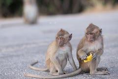 Macacos com fome Foto de Stock Royalty Free
