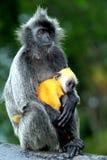 Macacos da folha de prata com o bebê alaranjado da cor imagem de stock
