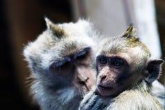 Macacos da matriz e do bebê Imagem de Stock Royalty Free